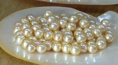 Ngọc trai Akoya quý giá của Nhật Bản được nuôi cấy như thế nào?